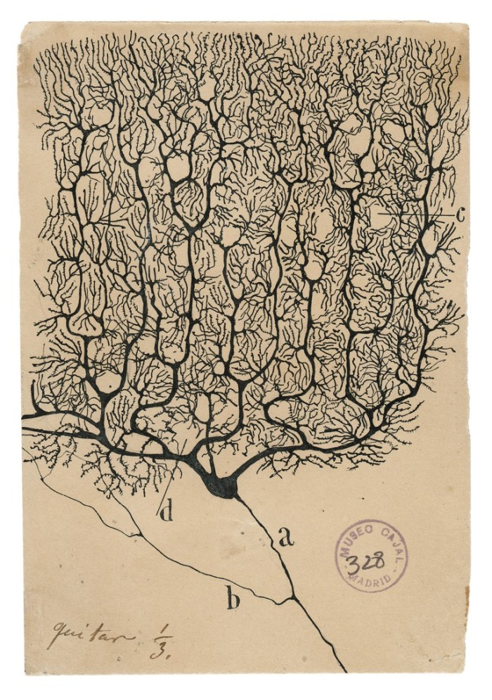 santiago ramon y cajal drawing of neuron